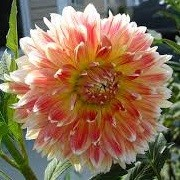Dahlia 'Peaches and Cream' (12/03/2014)  added by Shoot)