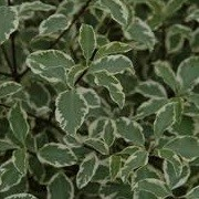 Pittosporum tenuifolium 'Wendle Channon'  (12/03/2014)  added by Shoot)