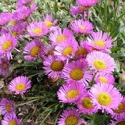 Erigeron 'Sea of Blossom' (30/04/2014)  added by Shoot)