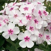 Phlox paniculata 'Ice Cream' (30/04/2014)  added by Shoot)