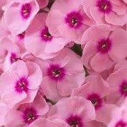 Phlox paniculata 'Jeff's Pink' (30/04/2014)  added by Shoot)