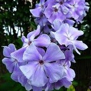 Phlox paniculata 'Ending Blue' (07/05/2014)  added by Shoot)