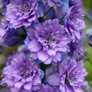 Delphinium 'Highlander Blueberry Pie' (07/05/2014)  added by Shoot)