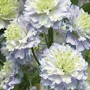 Delphinium 'Highlander Morning Sunrise' (07/05/2014)  added by Shoot)