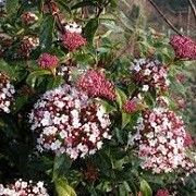Viburnum tinus 'Spirit' (07/05/2014)  added by Shoot)