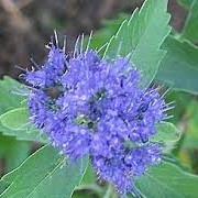 Caryopteris x clandonensis 'Grand Bleu' (14/05/2014)  added by Shoot)