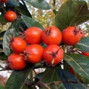 Crataegus x lavalleei 'Carrierei' (14/05/2014)  added by Shoot)