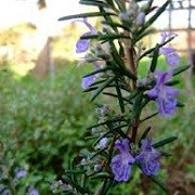 Rosmarinus officinalis 'Severn Sea' (21/05/2014)  added by Shoot)