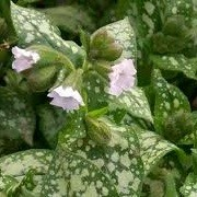 Pulmonaria 'Ice Ballet' (Classic Series) (21/05/2014)  added by Shoot)