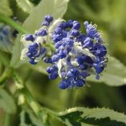 Ceanothus 'Lemon and Lime'