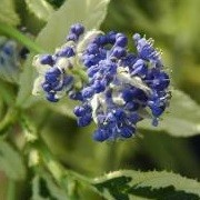 Ceanothus 'Lemon and Lime' (24/05/2014)  added by Shoot)