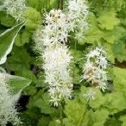Tiarella 'Moorgrun' (24/05/2014)  added by Shoot)