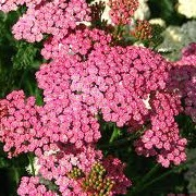 Achillea 'Smiling Queen'