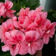 Pelargonium 'Peach Kiss' (24/05/2014)  added by Shoot)