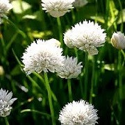 Allium schoenoprasum 'Corsican White' (24/05/2014)  added by Shoot)