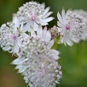 Astrantia major 'Sue Barnes'
