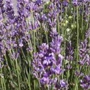 Lavandula angustifolia 'Dwarf Blue' (27/05/2014)  added by Shoot)