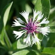 Centaurea montana 'Purple Heart' (05/06/2014)  added by Shoot)