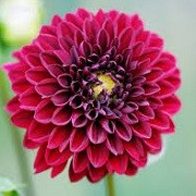 Dahlia 'Night Queen' (27/05/2014)  added by Shoot)