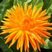 Calendula officinalis 'Orange Porcupine'