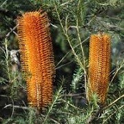 Banksia ericifolia (09/06/2014)  added by Shoot)