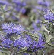 Caryopteris x clandonensis 'Sterling Silver'