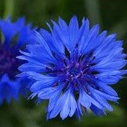 Centaurea cyanus 'Blue Diadem' (09/06/2014)  added by Shoot)