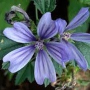 Malva sylvestris var. mauritiana 'Primley Blue' (10/06/2014)  added by Shoot)
