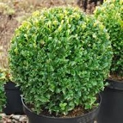 Buxus (any variety)