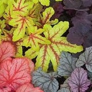 Heuchera (any variety)