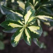 Euonymus (any evergreen variety)
