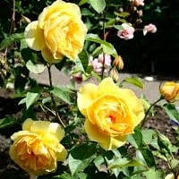 Rosa (any Shrub variety)