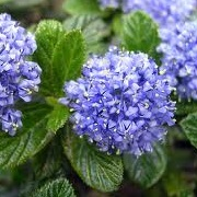 Ceanothus (any evergreen variety)