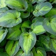 Hosta (any variety) (10/06/2014)  added by Shoot)
