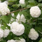 Viburnum (any deciduous variety) (10/06/2014)  added by Shoot)