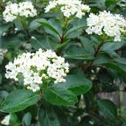 Viburnum (any evergreen variety)