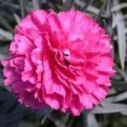 Dianthus 'Sherbet' (Early Bird Series) (16/06/2014)  added by Shoot)
