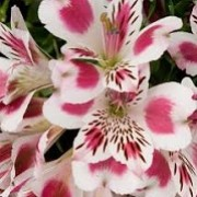 Alstroemeria 'Inticancha White Pink Heart' (26/06/2014)  added by Shoot)