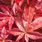 Acer palmatum (Palmatum Group) 'Corallinum' (26/06/2014)  added by Shoot)