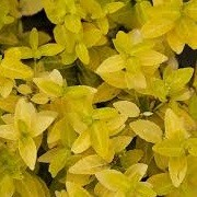 Euonymus fortunei 'Golden Prince' (26/06/2014)  added by Shoot)