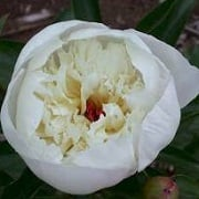 Paeonia lactiflora 'Immaculee'