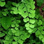 Adiantum capillus-veneris (01/07/2014)  added by Shoot)