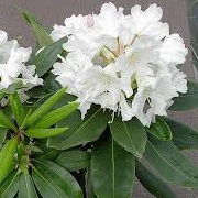 Rhododendron 'White Dufthecke'