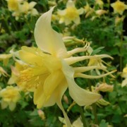 (27/04/2020) Aquilegia 'Florida' (State Series) added by Shoot)