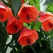 Abutilon 'Red Trumpet' (25/07/2014)  added by Shoot)