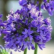 Agapanthus 'Charlotte'  (25/07/2014)  added by Shoot)