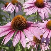 Echinacea purpurea (any variety) (25/07/2014)  added by Shoot)