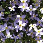 Houstonia caerulea 'Millard's Variety' (28/07/2014)  added by Shoot)