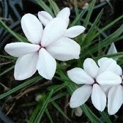 Rhodohypoxis baurii 'Alba' (17/11/2014)  added by Shoot)