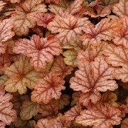 X Heucherella 'Honey Rose' (20/11/2014)  added by Shoot)